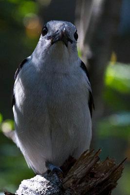 Madagaskar: Vogel im Nationalpark Tsingy de Bemaraha
