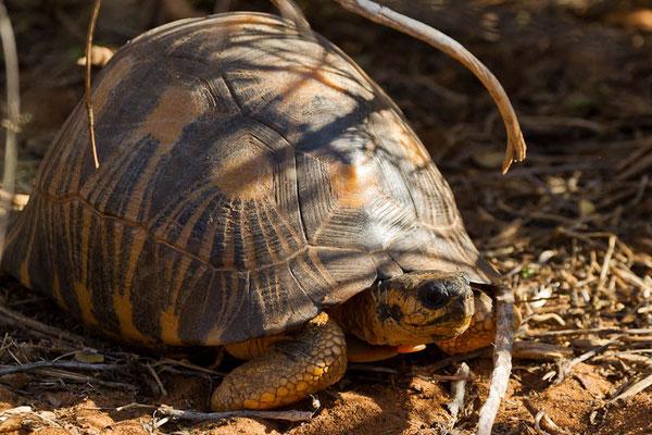Madagaskar: Strahlenschildkröte (Geochelone radiata)