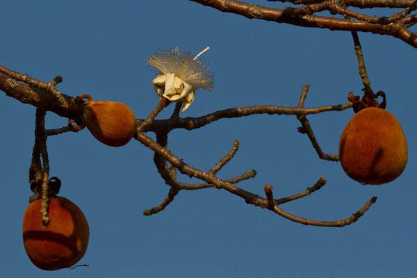 Madagaskar: Früchte des Baobab-Baums