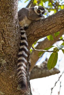 Madagaskar: Katta (Lemur)