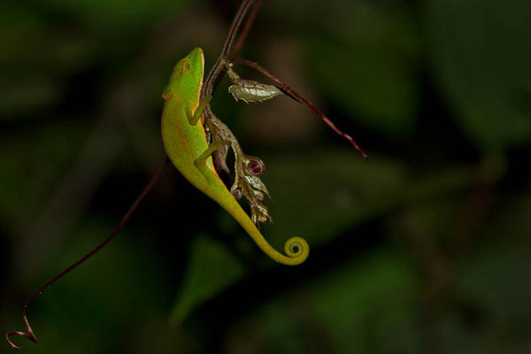 Madagaskar: Chamäleon