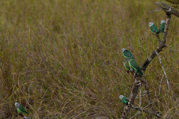Madagaskar: Grauköpfchen (Agapornis cana)