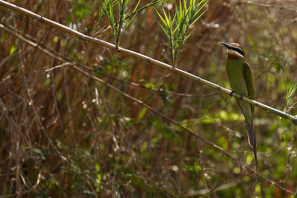 Madagaskar: Madagarskarspint (Merops superciliosus)