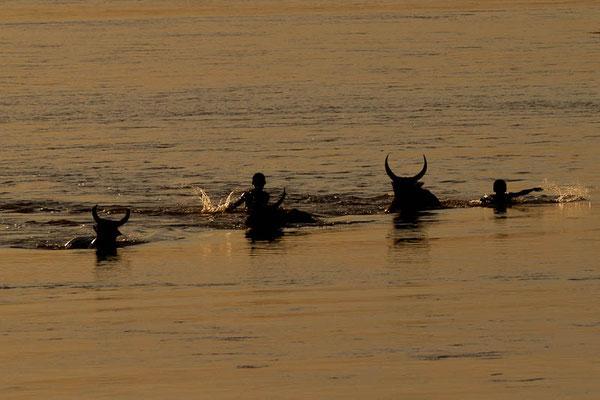Madagaskar: Zebus und Menschen bei Sonnenuntergang am Fluss Tsiribihina