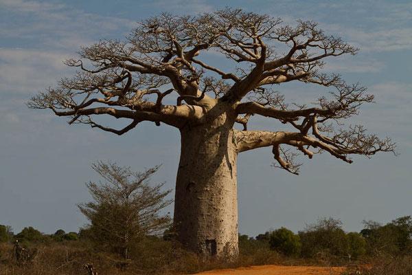 Madagaskar: Baobab-Baum