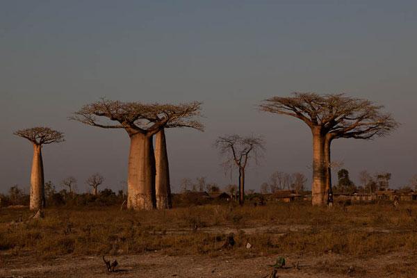 Madagaskar: Baobab Bäume (Afrikanischer Affenbrotbaum) in Madagaskar