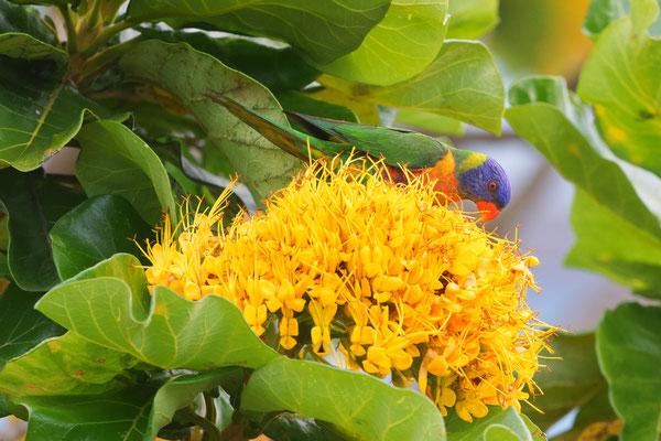 Regenbogen Korikeet auf Golden bouquet tree (Deplanchea tetraphylla), Cairns