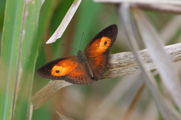 Orange Bush Brown (Mycalesis terminus)