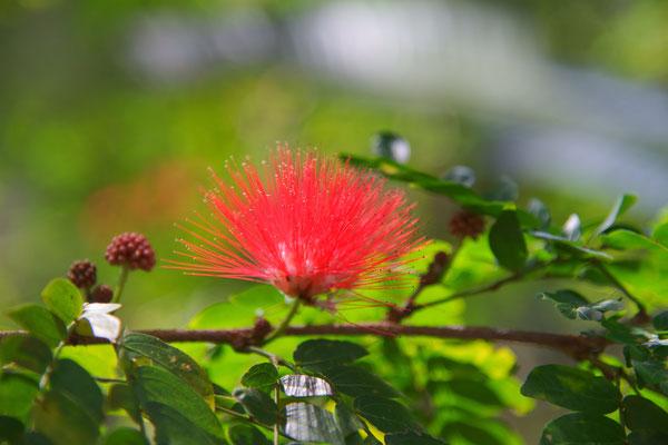 Calliandra haematocephala, Mimose, Fabaceae