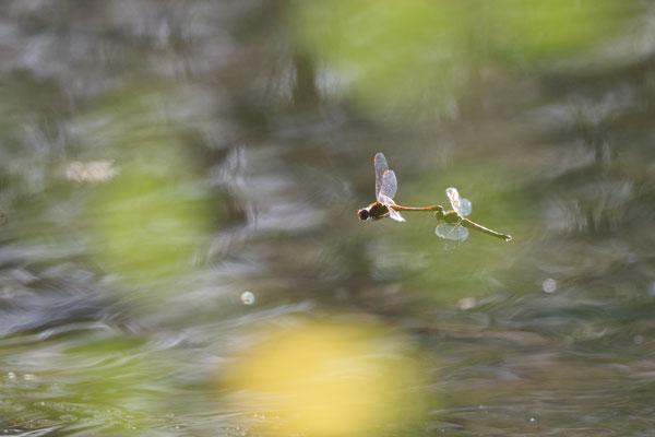 Gemeine Heidelibellen im Tandemflug