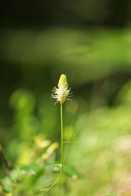 Ährige Teufelskralle (Phyteuma spicatum)