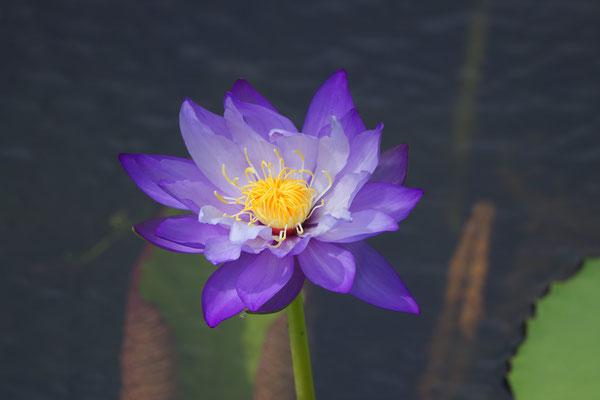Nymphaea caerulea, Blaue Seerose