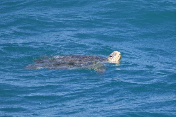 Grüne Meerschildkröte