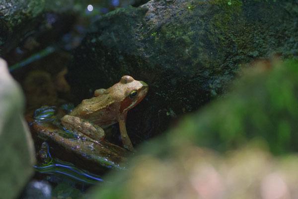 Waldfrosch