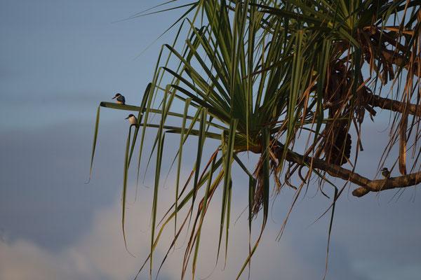 3 Waldeisvögel in einer Palme