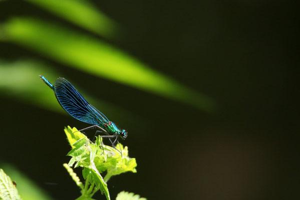 Blauflügelige Prachtlibelle