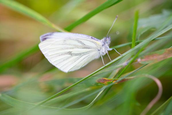 Grünader-Weißling