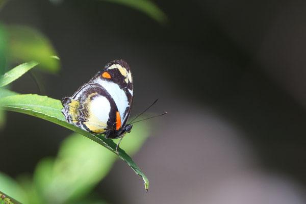 White or Jezabel Nymph (Mynes geoffroyi)
