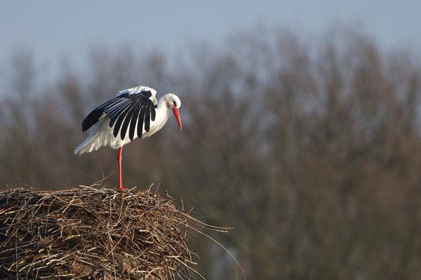 Storche bereiten sich auf die Paarungszeit vor