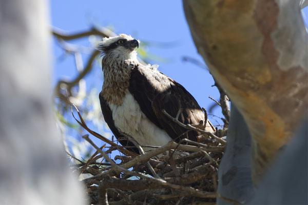 Osprey, Fischadler (Pandion haliaetus)