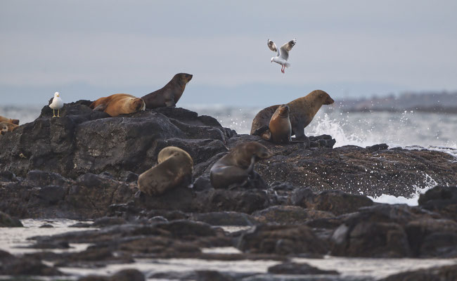 Seelöwen, Phillip Island