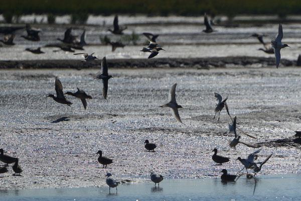 Verschiedene Watvögel aufgeschreckt durch ein Motorbot an der Jademündung