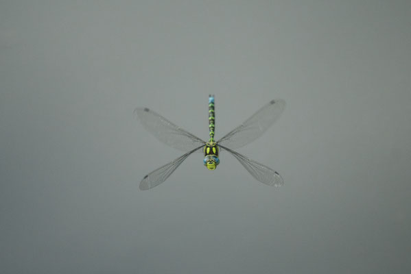 Blau-grüne Mosaikjungfer (Aeshna cyanea)
