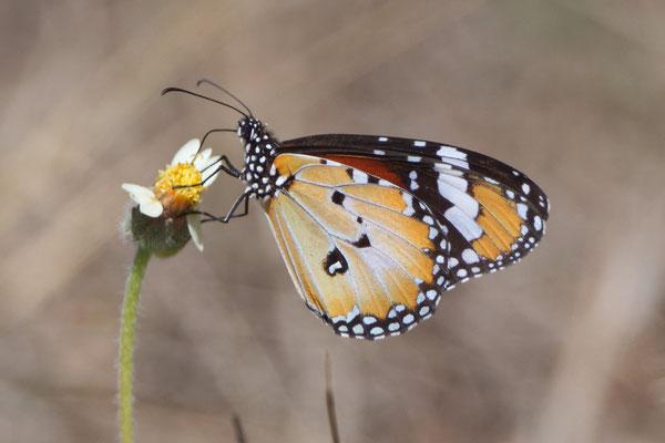 Gewöhnlicher Tiger-Schmetterling, Danaus petilia (Stoll, 1790) Australian Lesser Wanderer
