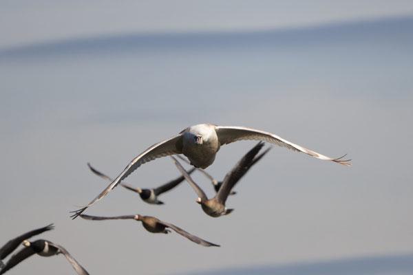 junger Höckerschwan im Anflug