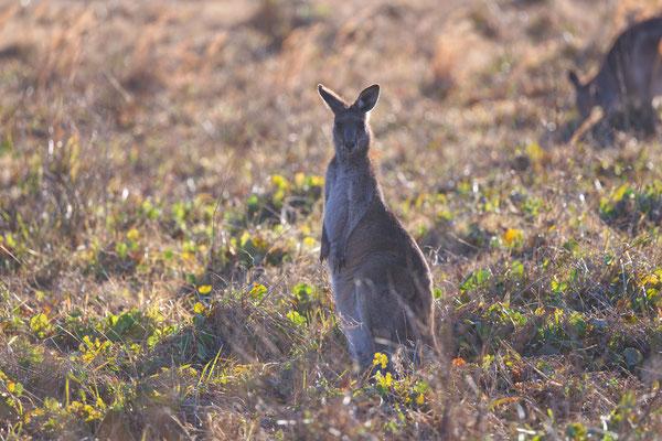 Kangaroo, Känguru