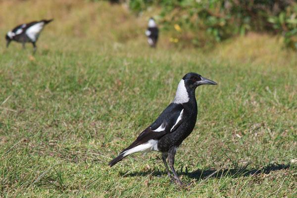 Australian Magpie, Flötenvogel (Gymnorhina tibicen)