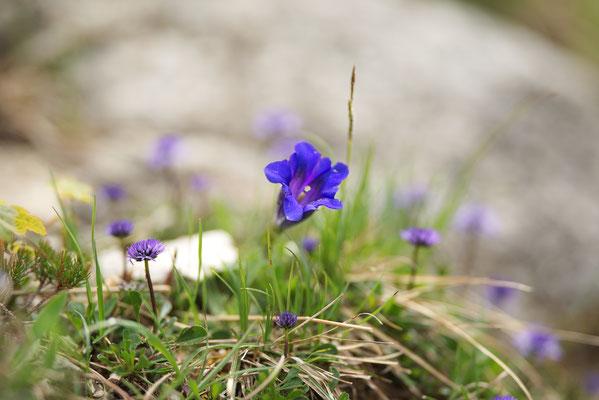 Alpenenzian (Gentiana alpine)