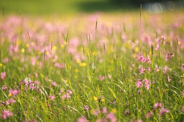 Feuchtwiese mit Kuckucks-Lichtnelken (Lychnis flos-cuculi)