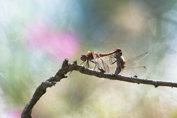 gemeine Heidelibellen bei der Paarung