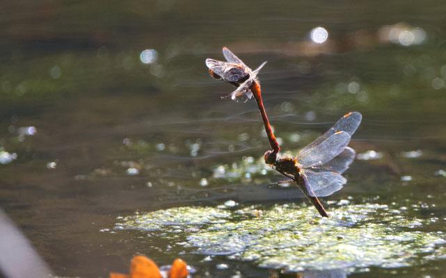 Gemeine Heidelibellen im Tandemflug bei der Eiablage