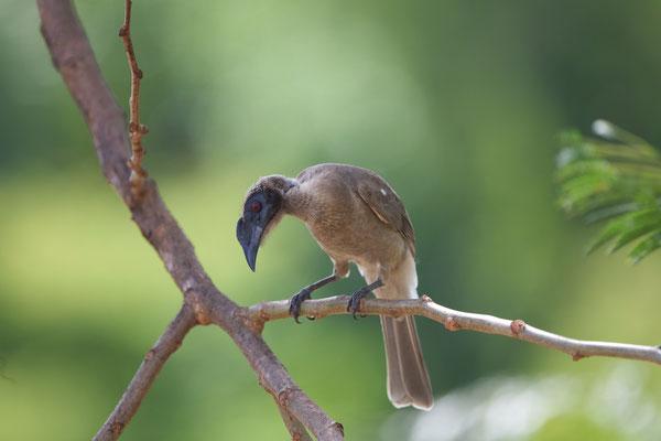 Helmeted Friarbird, Philemon buceroides