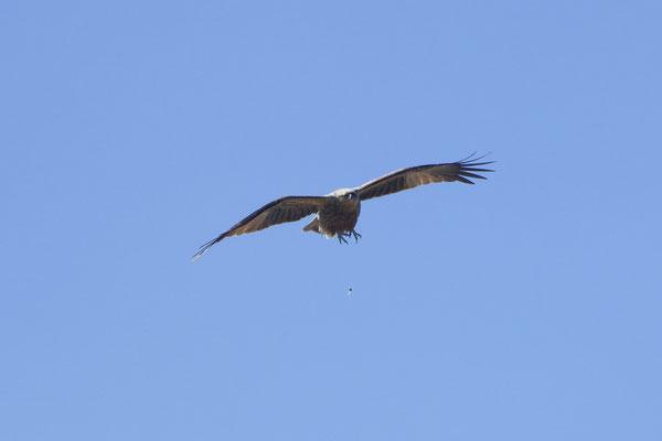 Black Kite (Milvus migrans) Schwarzmilan