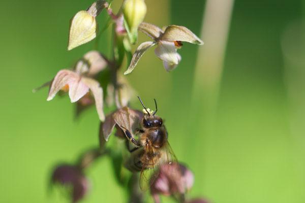 Breitblättrige Stendelwurz mit einer Honigbiene als Bestäuber