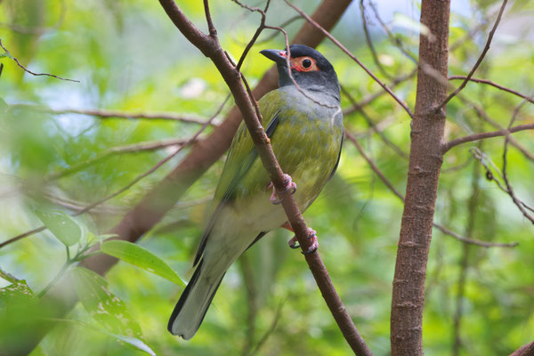 Figbird (Sphecotheres viridis)