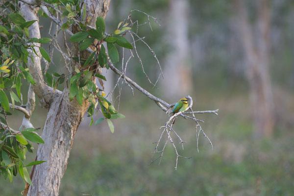 australischer Bienenfresser (Merops ornatus)