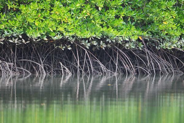 Mangroven Daintree River