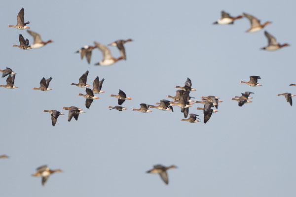 reger Flugverkehr mit Gänsen und Enten