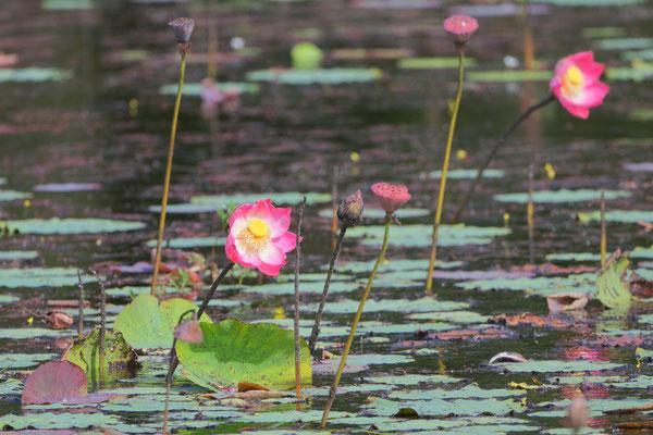 Pink lotus lily (Nelumbo nucifera) – Familie Nelumbonaceae