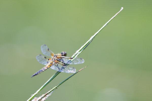 Vierflecklibelle, Weibchen