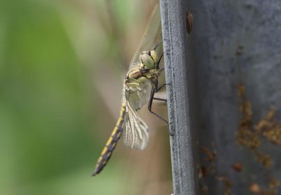 Blaupfeil, Weibchen frisch geschlüpft