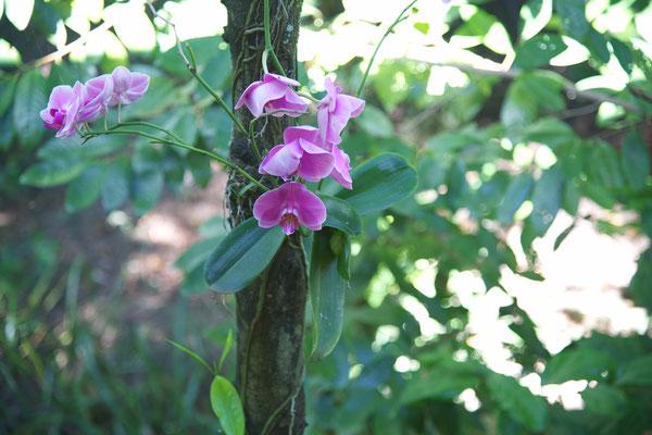 Phalaenopsis spec., an einem Baum
