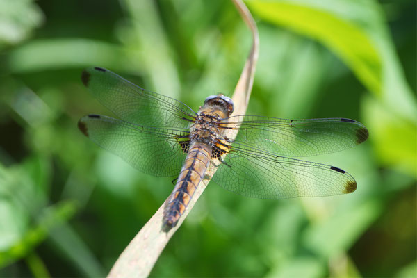 Spitzfleck Weibchen