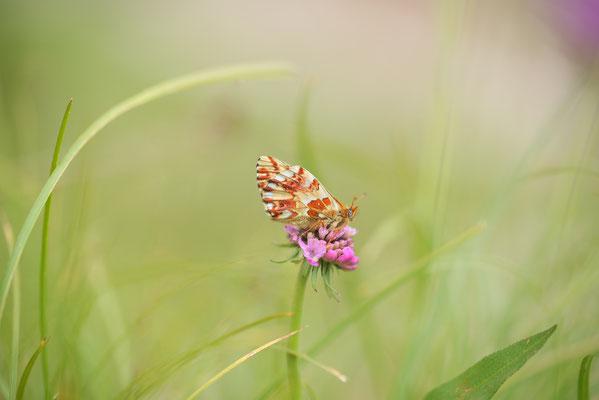 Hochalpen-Perlmutterfalter (Boloria pales) auf Acker-Witwenblume (Knautia arvensis)