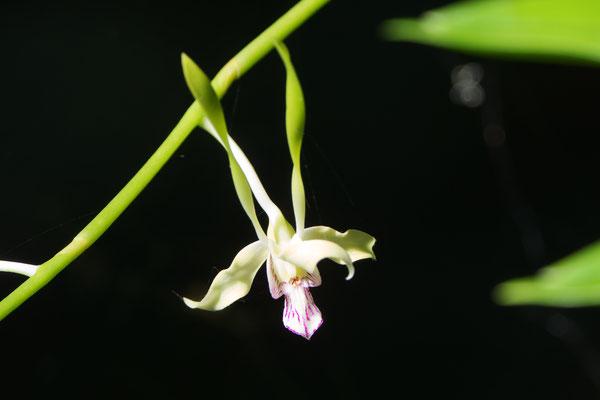 Dendrobium antennatum, Orchidee
