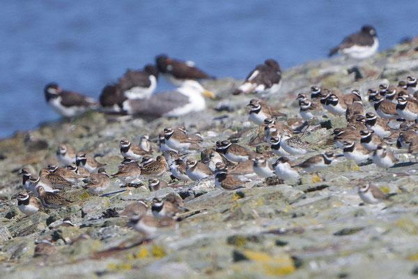 Kolonie mit Sandregenpfeifern und andern Vögeln